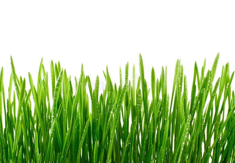 在白色背景与水下落的新鲜的绿草隔绝的 库存照片