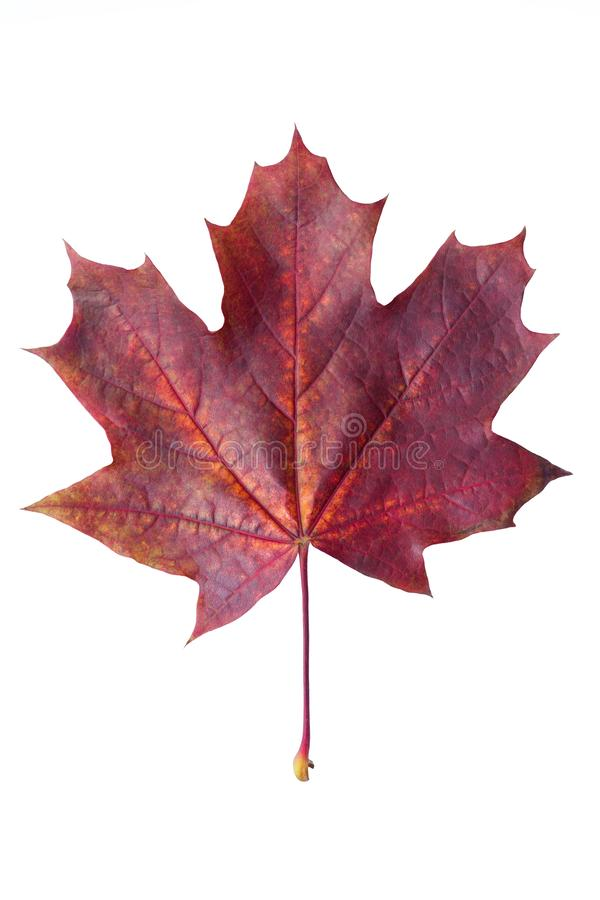 在白色背景关闭隔绝的五颜六色的秋天枫叶  在空白背景查出的红槭叶子 免版税库存图片