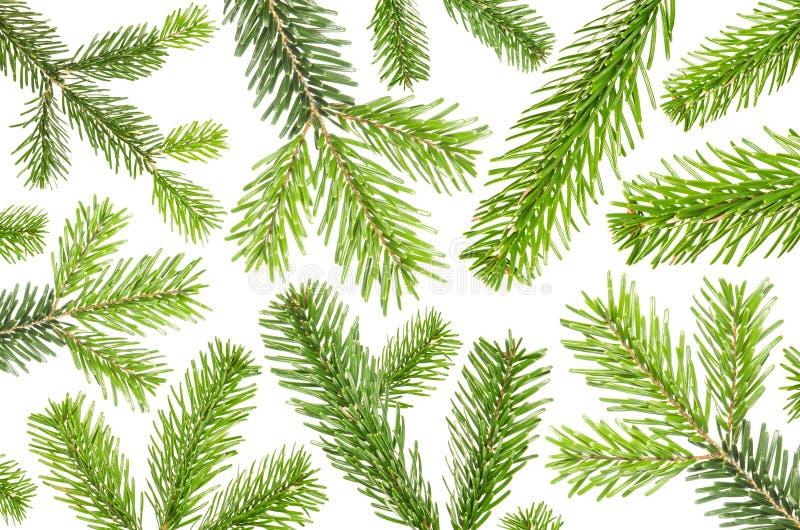 在白色背景前的许多绿色冷杉分支 免版税库存照片