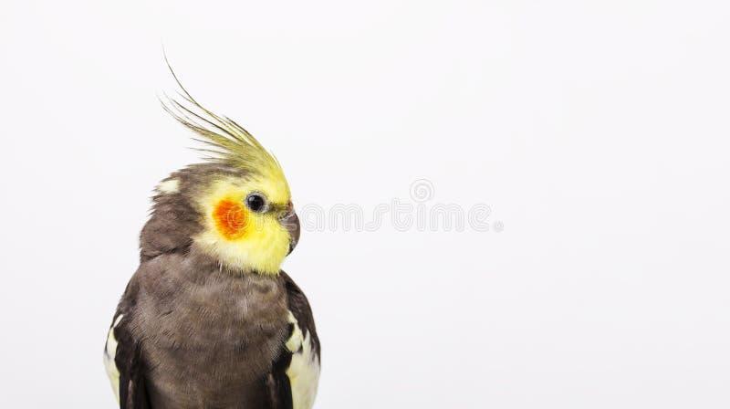 在白色背景前面的一灰色小形鹦鹉Nymphicus hollandicus 免版税库存图片