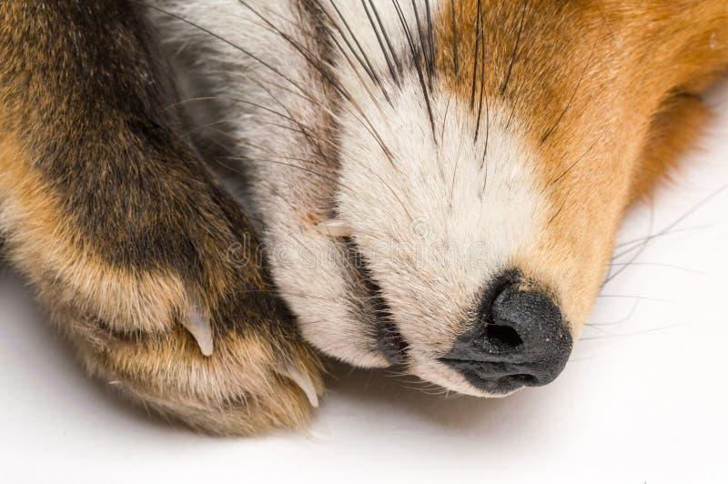 在白色背景前面的狐狸狐狸 免版税库存照片