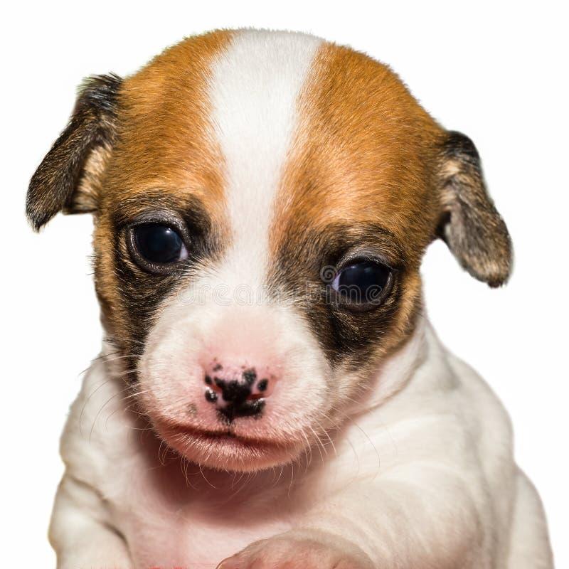 在白色背景前面的逗人喜爱的奇瓦瓦狗小狗 免版税库存图片