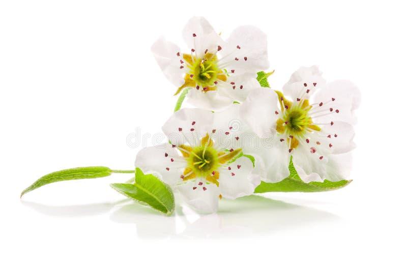 在白色背景剪报轻拍隔绝的梨春天花 免版税库存图片