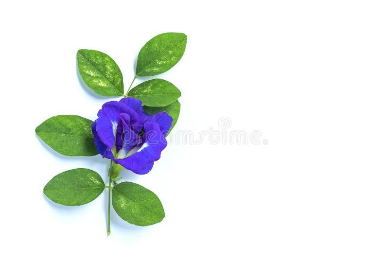 在白色背景和叶子隔绝的蓝色豌豆花 免版税库存照片