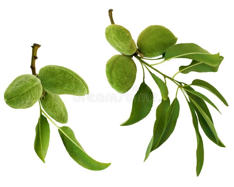 在白色背景和果子或者坚果隔绝的绿色杏仁分支 叶子和扁桃年轻果子  免版税库存照片