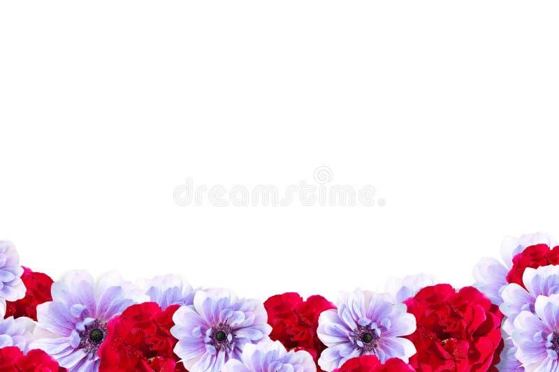 在白色背景和红色花框架隔绝的桃红色 免版税图库摄影