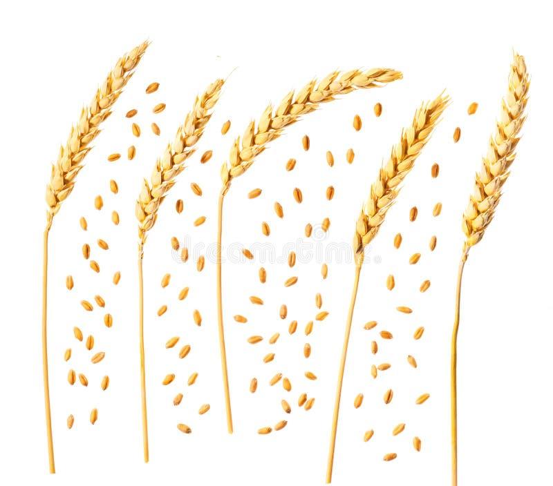 在白色背景和耳朵隔绝的麦子的五谷 顶视图 免版税库存照片