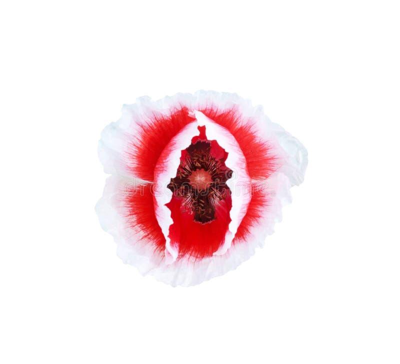 在白色背景和clippingpath与白色边缘开花的顶视图红色鸦片花隔绝的 库存图片
