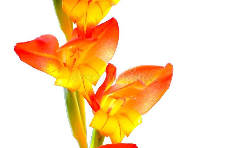 在白色背景在关闭的精美橙色狂放的兰花花隔绝的 库存图片