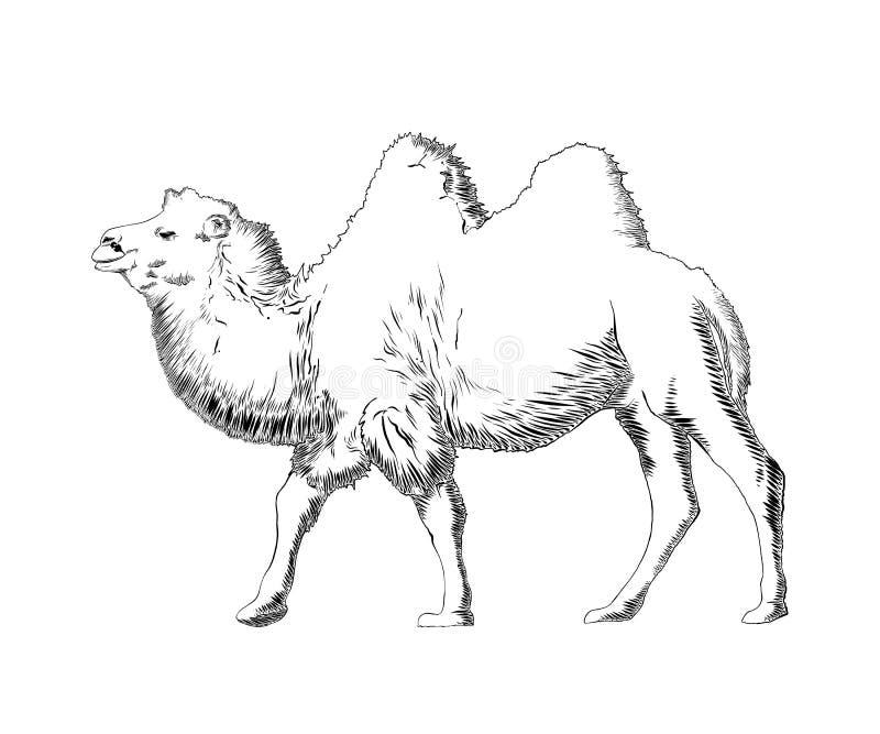 在白色背景在黑色的隔绝的骆驼手拉的剪影  详细的葡萄酒蚀刻样式图画 皇族释放例证