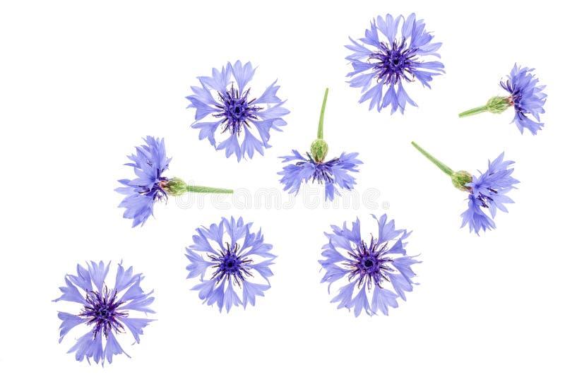 在白色背景宏指令隔绝的蓝色矢车菊 顶视图 平的位置样式 皇族释放例证