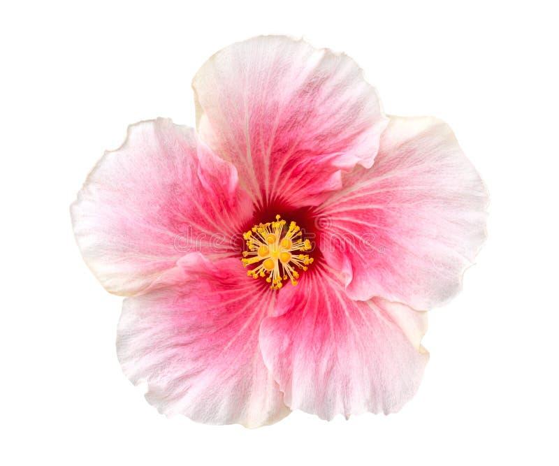 在白色背景开花顶视图隔绝的粉色木槿,裁减路线 图库摄影
