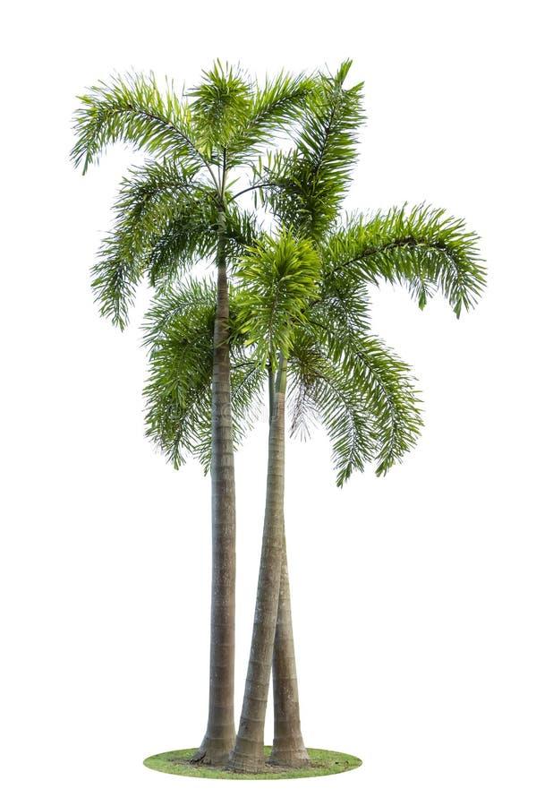 在白色背景或槟榔子隔绝的槟榔树 库存图片