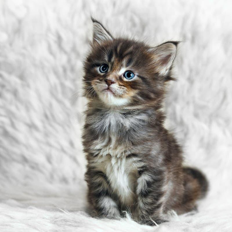 在白色背景毛皮的小灰色缅因浣熊小猫 免版税库存图片