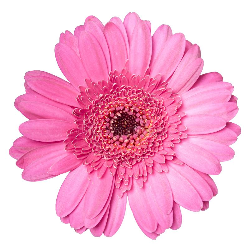 在白色背景特写镜头隔绝的美丽的桃红色大丁草雏菊花 库存图片