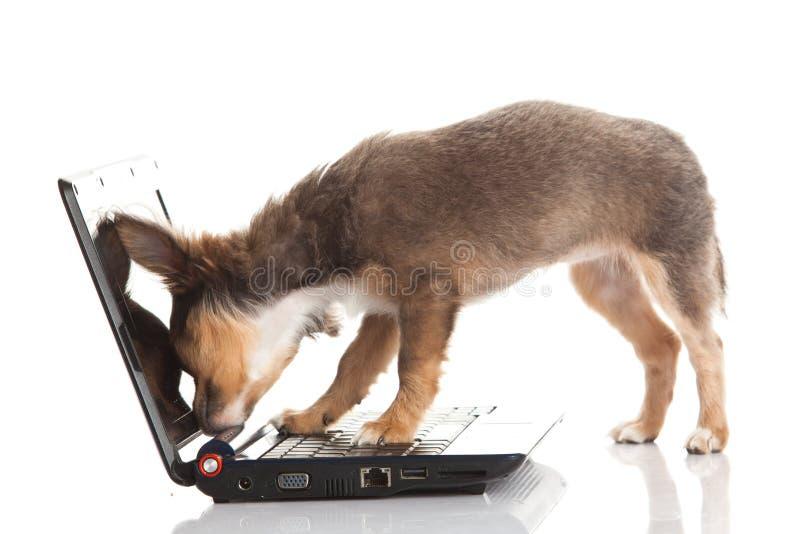 在白色背景狗隔绝的奇瓦瓦狗 免版税图库摄影