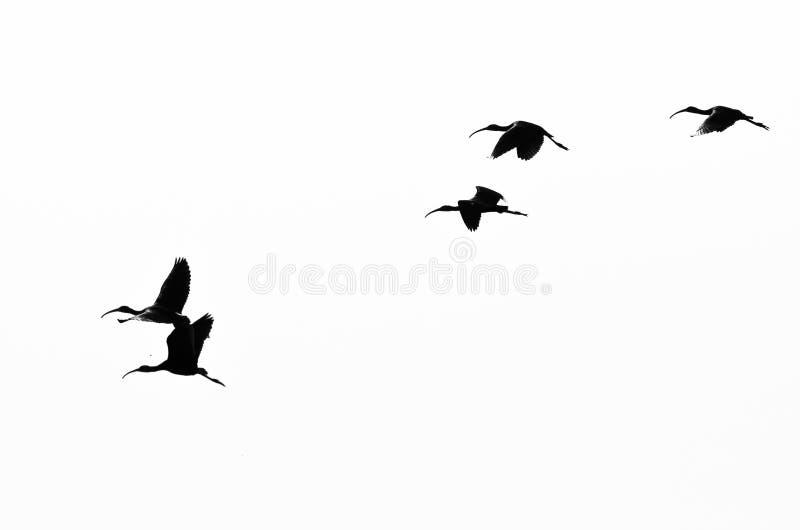 在白色背景现出轮廓的面无血色的朱鹭群 免版税库存图片