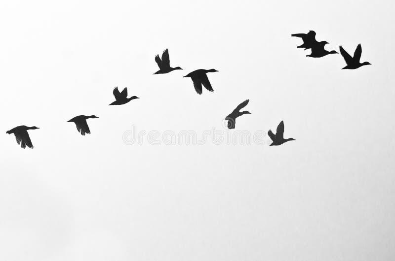 在白色背景现出轮廓的鸭子群  免版税库存图片