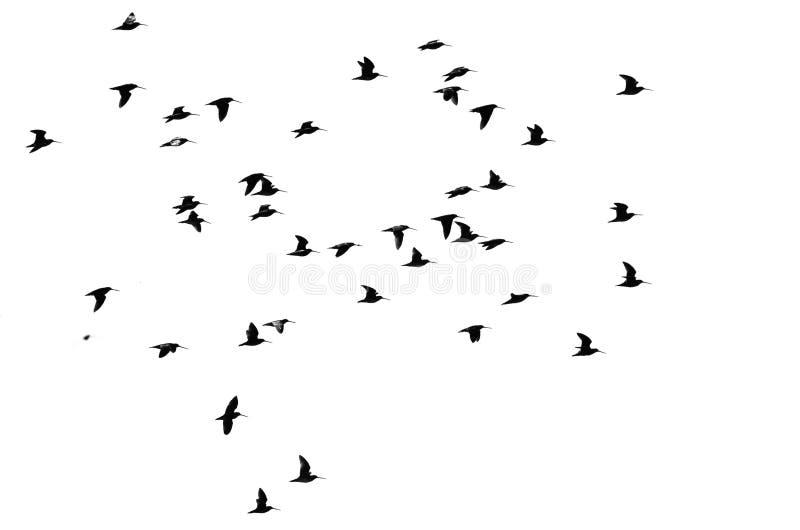 在白色背景现出轮廓的水鸟大群  免版税图库摄影