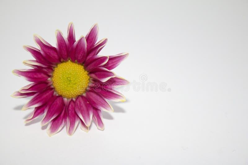 在白色背景的一朵桃红色花与在上写字的室 免版税库存照片
