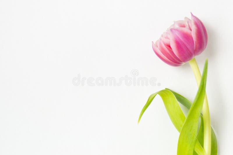 在白色背景的一朵桃红色郁金香花 库存照片
