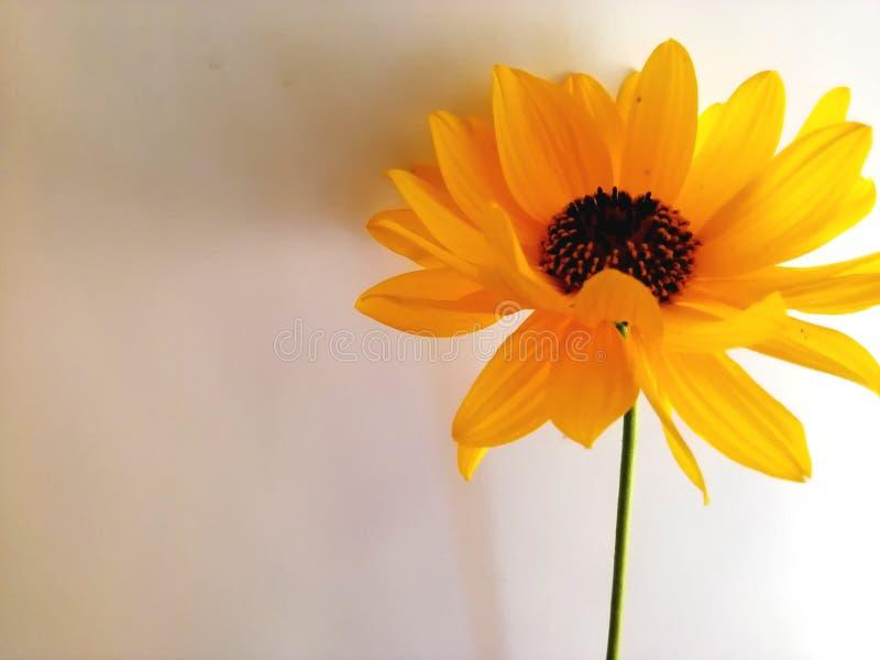 在白色背景的一朵橙色花 免版税图库摄影