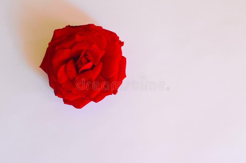 在白色背景的一朵红色玫瑰 免版税库存图片