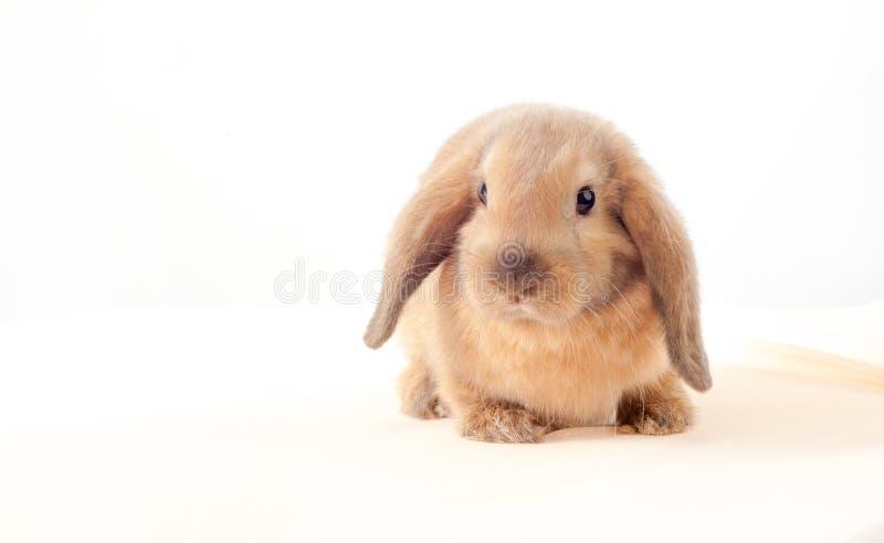 在白色背景的一点兔宝宝 小的兔子 免版税库存图片