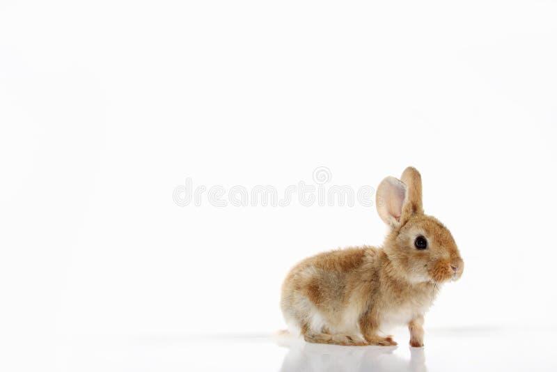 在白色背景的一点小兔 免版税库存图片