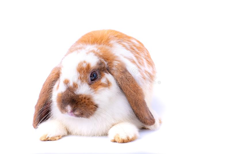 在白色背景的一点白色和棕色小兔与题材 库存图片