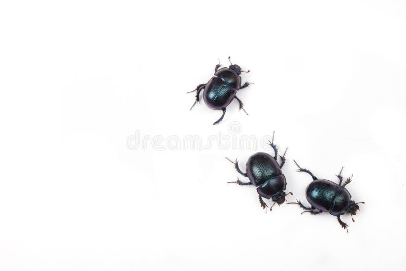 在白色背景的三个黑臭虫 库存图片