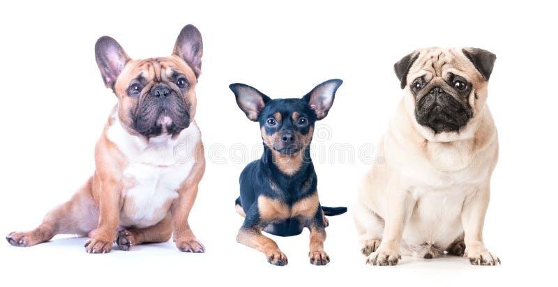 在白色背景的三条狗,被隔绝 法国牛头犬,哈巴狗 库存照片