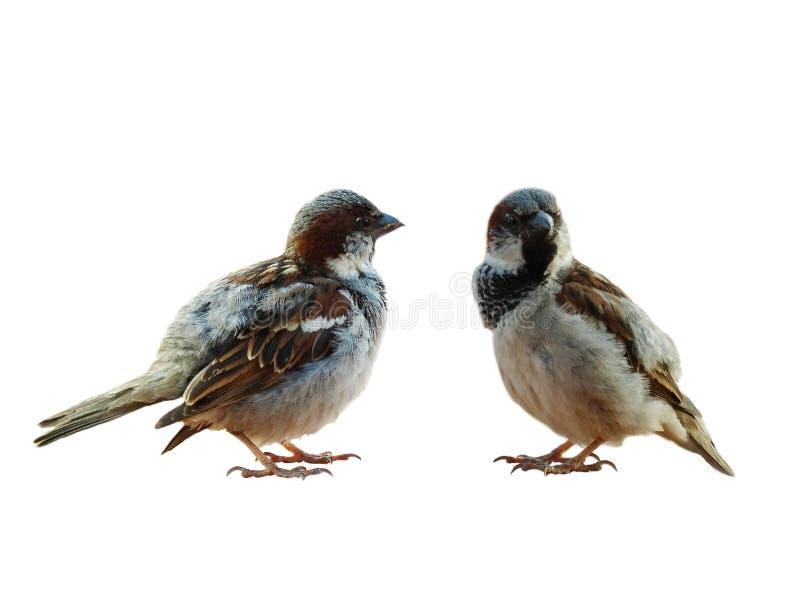 在白色背景的两只麻雀 免版税图库摄影
