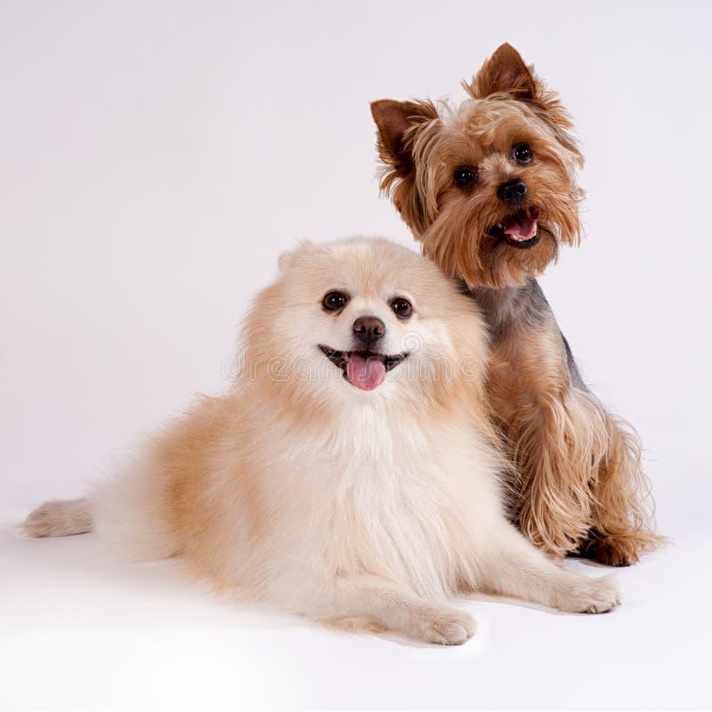 在白色背景的两条小狗。约克夏狗和唾液 免版税库存照片