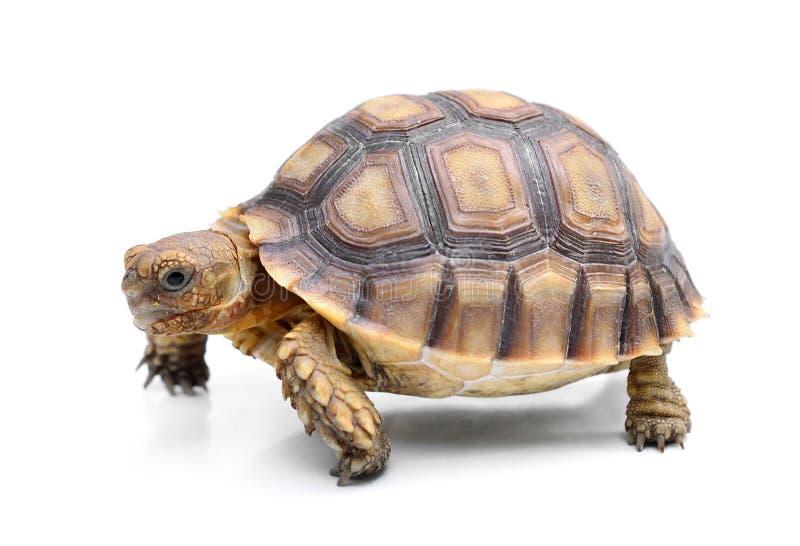 在白色背景的乌龟 库存图片