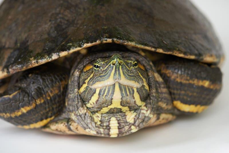 在白色背景的五颜六色的乌龟逗留 图库摄影