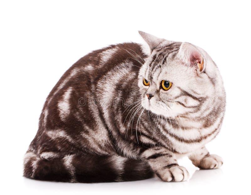 在白色背景的凉快的猫 美丽的良种猫画象 免版税库存照片