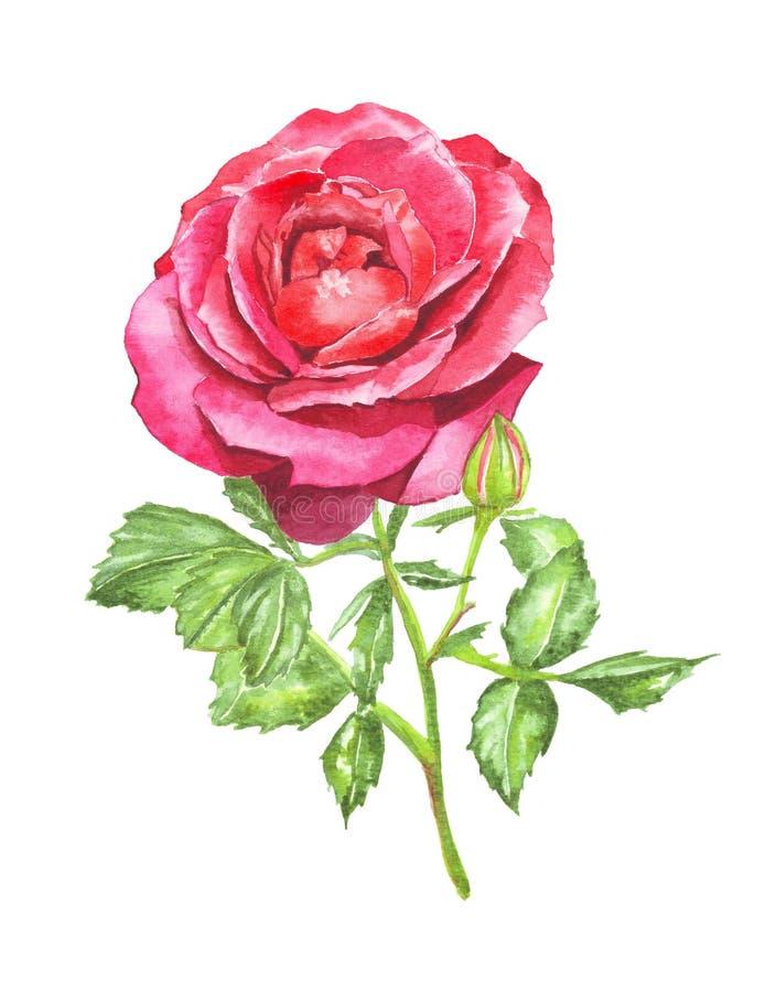 在白色背景的分开的红色玫瑰 免版税图库摄影