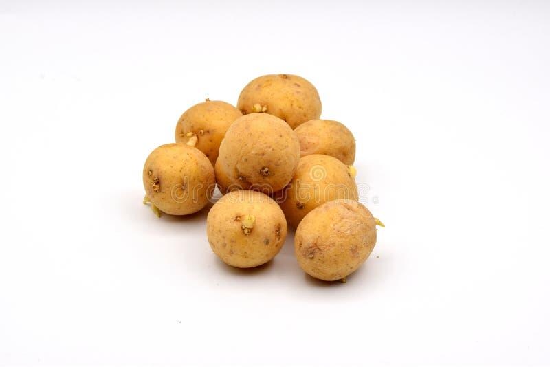 在白色背景的发芽的土豆 库存图片