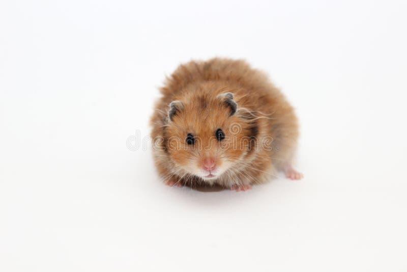 在白色背景的叙利亚棕色仓鼠 免版税库存照片