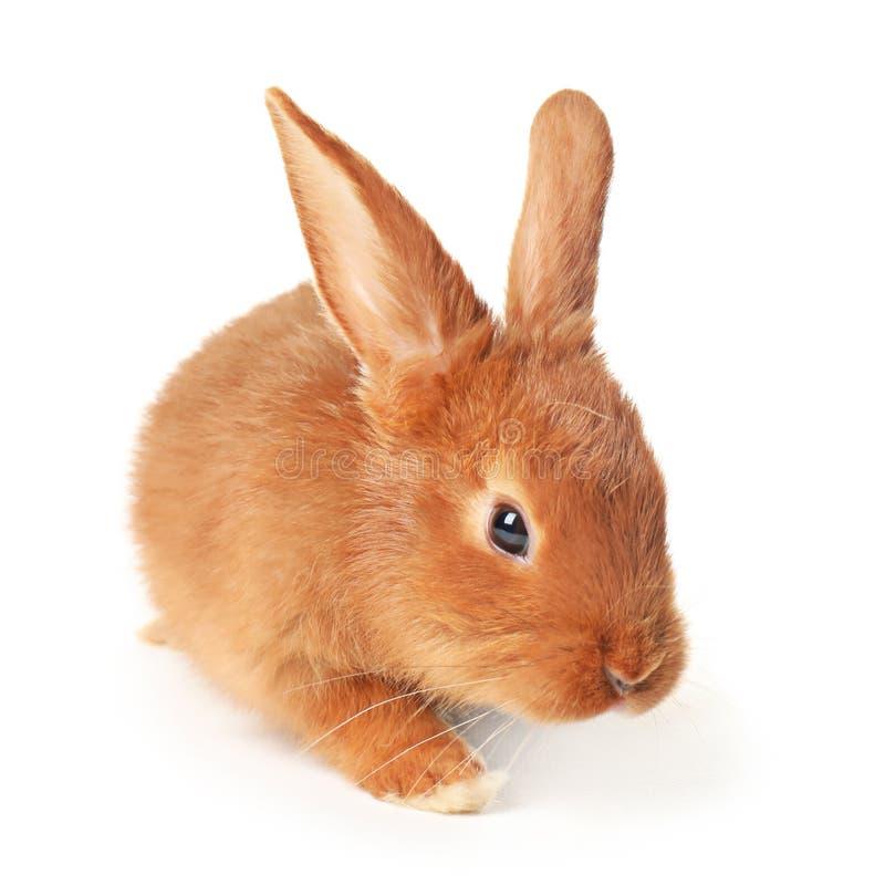 在白色背景的可爱的小兔 免版税库存照片