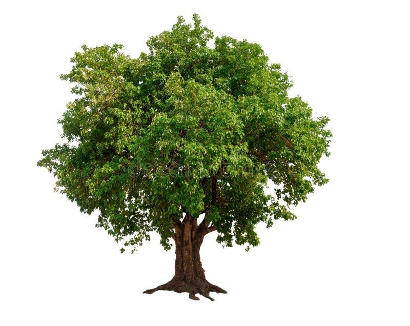 在白色背景的唯一树 免版税库存照片