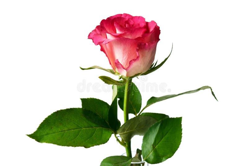 在白色背景的唯一桃红色玫瑰 库存照片