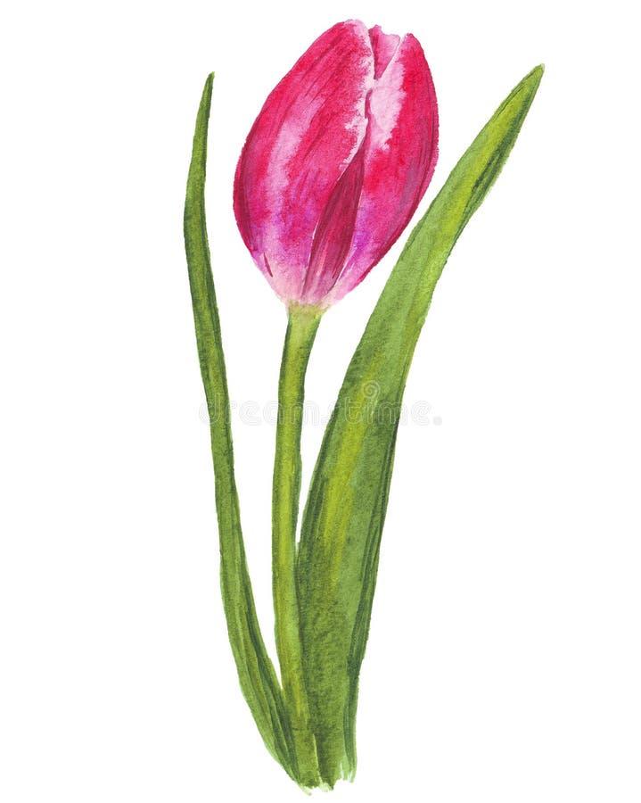 在白色背景的唯一水彩郁金香 库存照片
