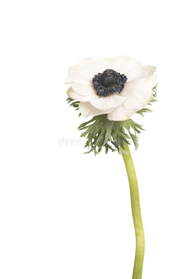在白色背景的唯一白色银莲花属花 免版税库存照片