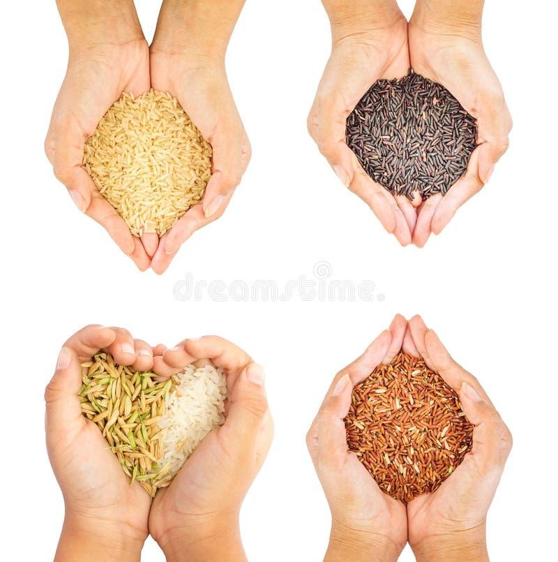 在白色背景的四只手孤立举行的黑色,稻,棕色和金黄米 库存图片