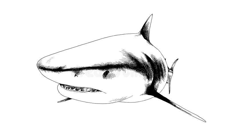 在白色背景的墨水画的鲨鱼图片