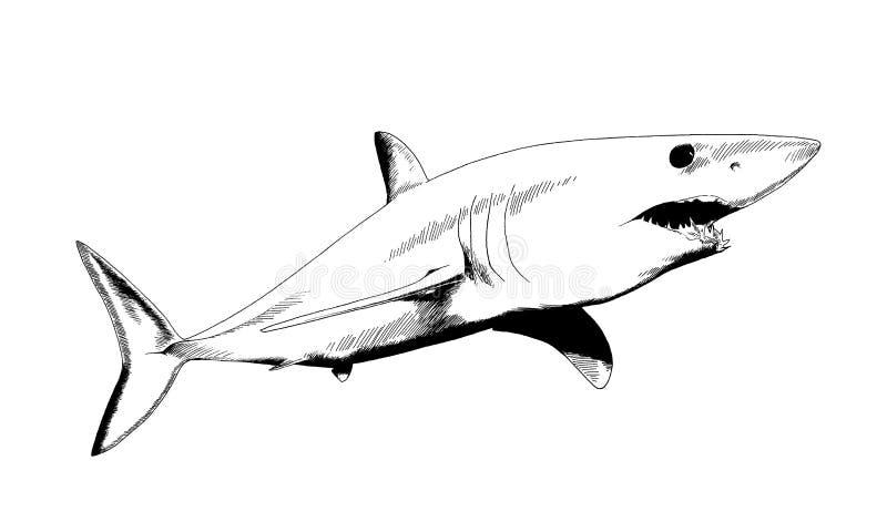 在白色背景的墨水画的鲨鱼. 图画, 下颌.图片