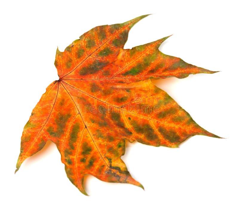 在白色背景的多色秋季枫叶 图库摄影