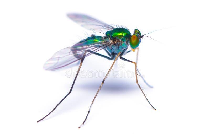 在白色背景的大绿色长腿的飞行 免版税图库摄影